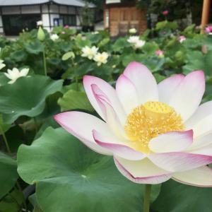 蓮の花を見て考える、私たち人間の生き方