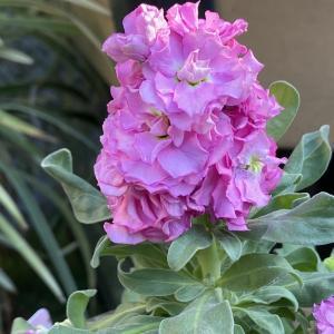 最近のお庭のお花たちと旦那さん作生落花生とか色々♪