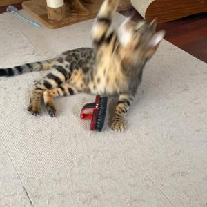 ベンガル君 模様が変わりました ベンガル猫は模様が変わる
