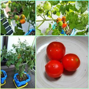 ミニトマトをわずかに収穫