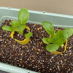 ミニ白菜の植え付けをしたよ!