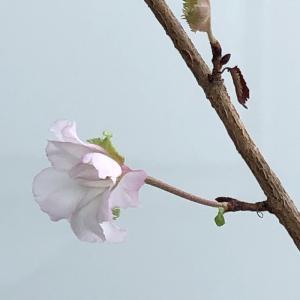 我が家の十月桜に花芽が付きました。瀕死の状態から咲いた可憐な花に、励まされてきました。