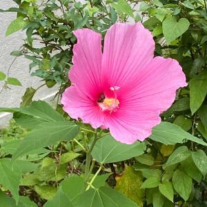 癒し系の花 芙蓉