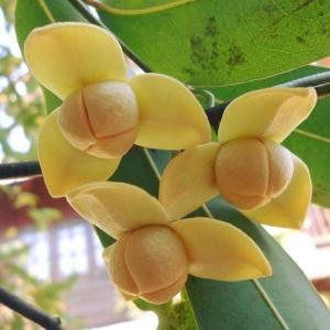 【カンボジア王国の国花】ロムドゥオル花
