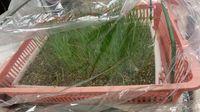 家庭菜園 玉ねぎの苗をいただきました!