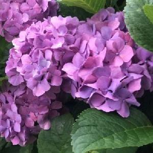 紫陽花が美しい梅雨