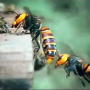 ミツバチ 対 スズメバチ