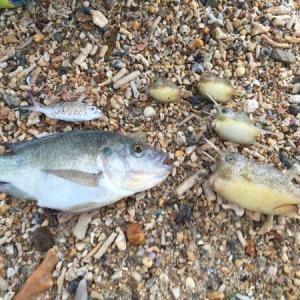 寒さで魚が仮死状態。取り放題?!