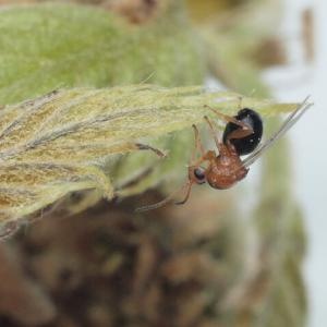 新種として9回命名 実は同じ種のハチ