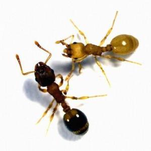寄生されたアリは「老化がストップする」→未成熟で巣全体が弱る→鳥に食べられ次の鳥宿主に移る