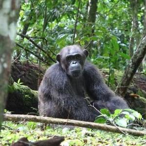 【悲報】チンパンジーがゴリラを襲ってしまう