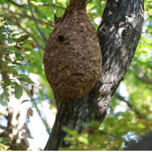 【注意】秋はスズメバチが攻撃的に!