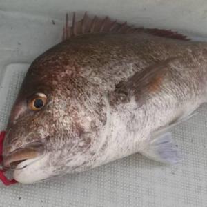 【福井県三国】モンスター真鯛ハント編2020~真鯛にかけた男たち~
