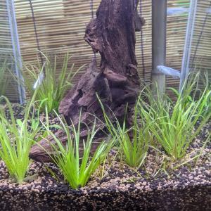 ミナミヌマエビ水槽:7日目水草の植栽