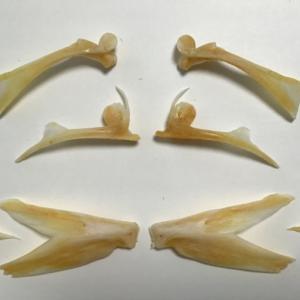 ブリ(ハマチ)の骨格標本の作り方