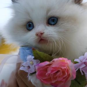 Ein Foto einer super süßen Katze, ein engelhaftes, flauschiges Gefühl, das über die Heilung hinausgeht!