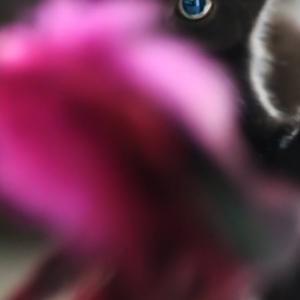 Gato negro con ojos azules, ¡los ojos azules me robaron el corazón!