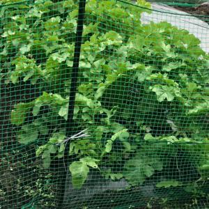 家庭菜園の大根とかぶ