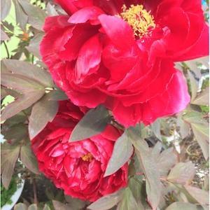春に木酢、万田酵素、微粉を花に与え続けて、夏丈夫な花が咲いたよ