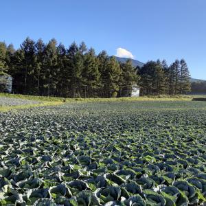 嬬恋村 キャベツ収穫バイトはきつい? 仕事内容と実態について