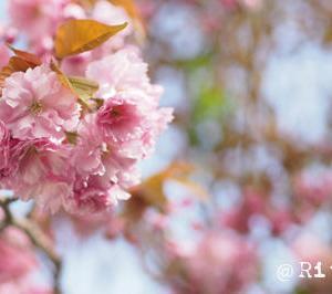 遅咲きの桜とポイント投資