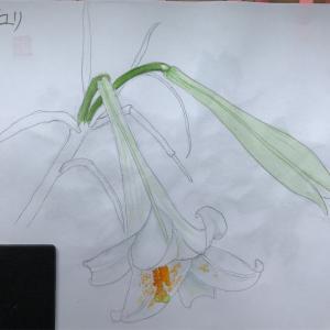 エミータスケッチ79/タカサゴユリ/うなぎの蒲焼き