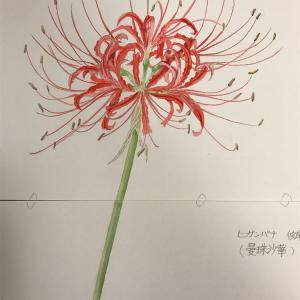 エミータS.145/ヒガンバナ(花)/花泥棒