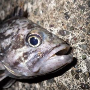 2020/06/13釣行記録 激混みを避けて隣の小型漁港へ、だけどこちらも... それでもクロソイ3匹。