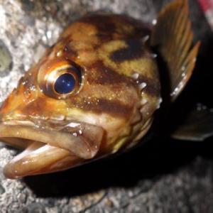 2020/09/26釣行記録 爆風、海水温高め、若潮のバッドコンディション... 「シュガーディープ」Bassdayでソイは釣れず......