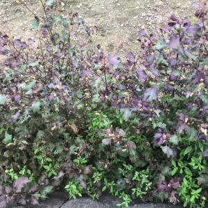 紫蘇の花と今日の野菜たち