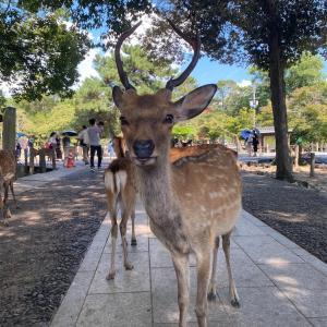 【奈良の鹿と遊ぶ休日】🦌鹿と仲良くなりたい❣️奈良編②