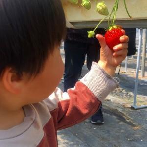 原田の里でお孫ちゃんとイチゴ狩り!