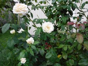 ちょっぴり恥ずかしいけど庭の秋バラをご紹介します