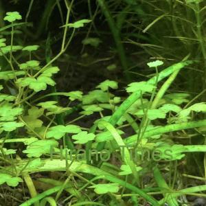 【水草】オーストラリアン ノチドメクローバー