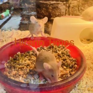 【小動物】ファンシーマウス