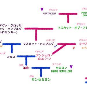 サンセミヨンのフル系図に挑戦!