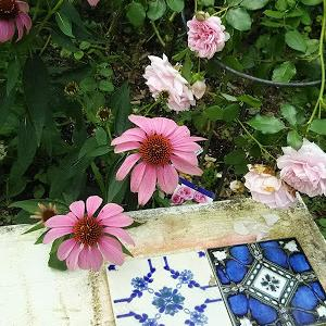 今朝の庭から ソックスのつま先編んでいます