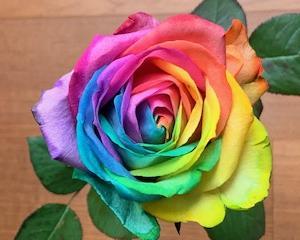中国語雑談32「レインボーローズ、奇跡」,中文漫谈「彩虹玫瑰之奇迹」