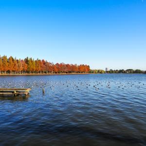 絵画のような景色が楽しめる水元公園。メタセコイアの紅葉が始まってました!カワセミ撮影は不動池がおすすめ!