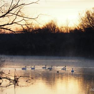 川島町白鳥飛来地で野生の白鳥を観察!川霧の中の白鳥はとても美しかった!
