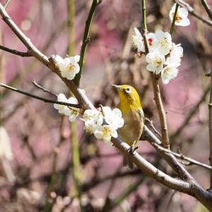 小石川植物園の梅が見頃だった!梅とメジロのウメジローも撮影出来た!!
