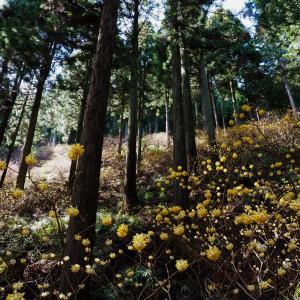東丹沢・不動尻のミツマタ群生地を日帰りハイキング!辺り一面黄色の世界は圧巻!