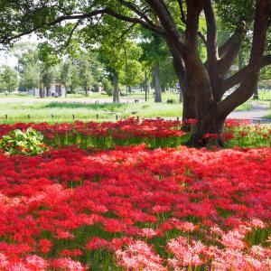 水元公園で彼岸花の群生を楽しむ。見頃はちょっと過ぎてたけど。。。