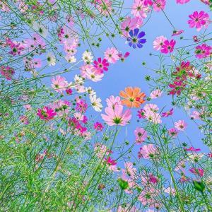 虫目線から撮影された日本のコスモスの花が美しいと話題に(海外の反応)