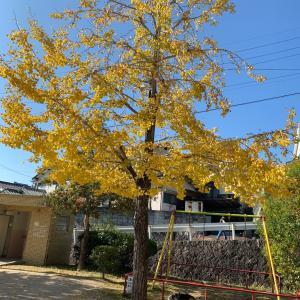 イチョウの木。