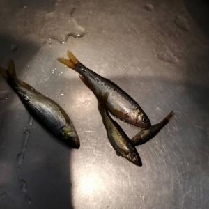 八王子湯殿川の川魚を食べてみた