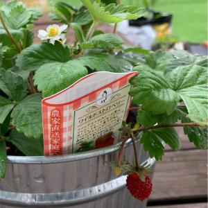 可愛い苺の実を見たら、やる気が出た話