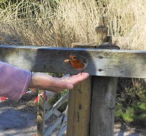 可愛すぎる!! イギリスの鳥の代表。ロビン。
