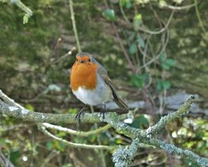 イギリス人にこよなく愛されている野鳥、ロビン。