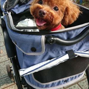 【トイプー】トリミングに行ってきました♪【犬】